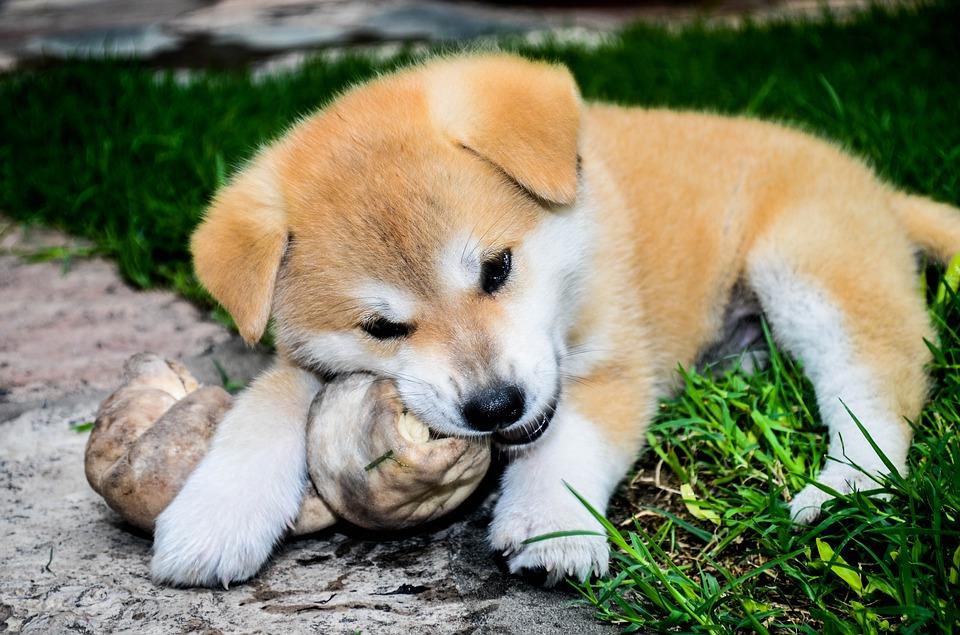 Jak zjistit, kde mají štěně akita inu na prodej