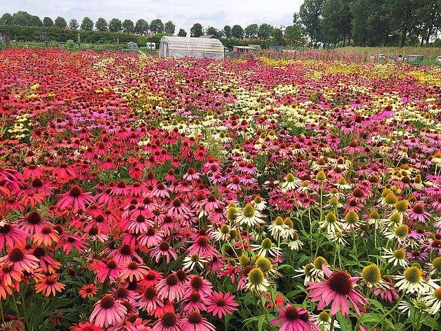 Echinacea – přírodní lék na imunitu