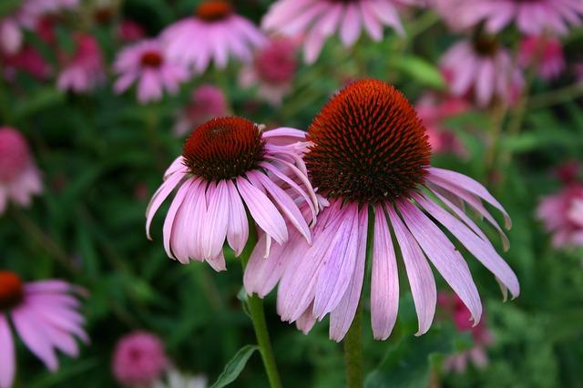 echinacea květ